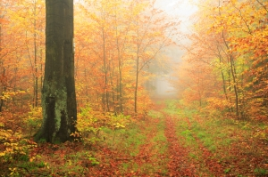 A path in a foggy fall wood