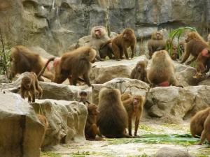 Baboons at the zoo